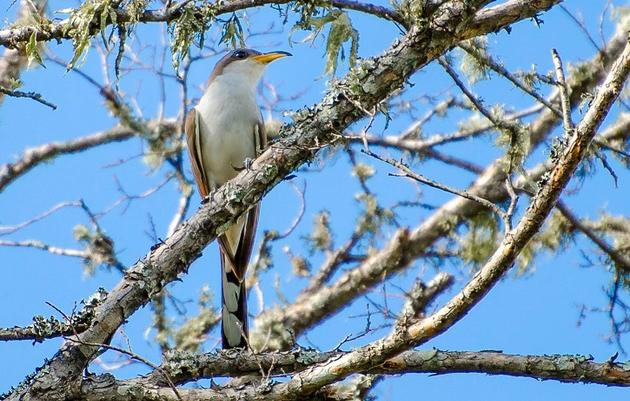 The Western Yellow-Billed Cuckoo