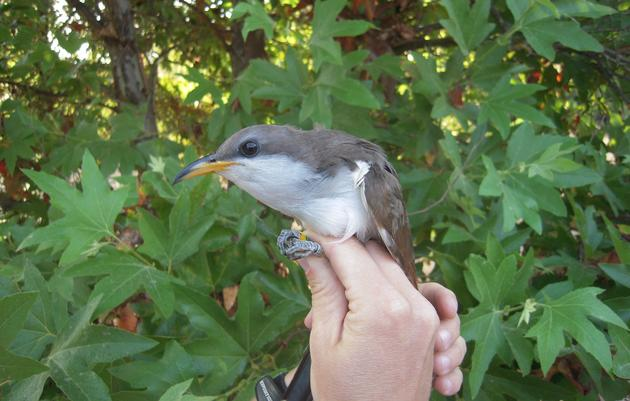 Finding the Western Yellow-billed Cuckoo