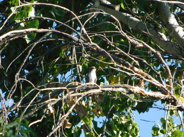 Victory for the western yellow-billed cuckoo: July 2016 AZ WRAN Happenings