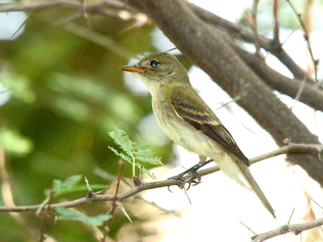 Take Action Now for the Southwestern Willow Flycatcher