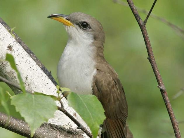 Western Yellow-Billed Cuckoos Discovered in Greater Habitat Range in Arizona