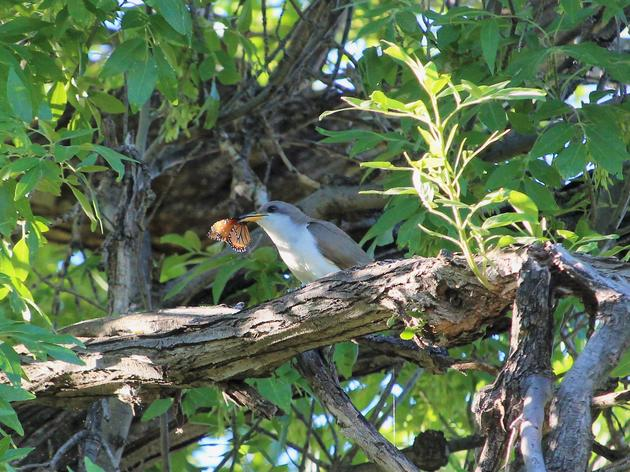 Chapter Highlight: Yellow-billed Cuckoo Surveys
