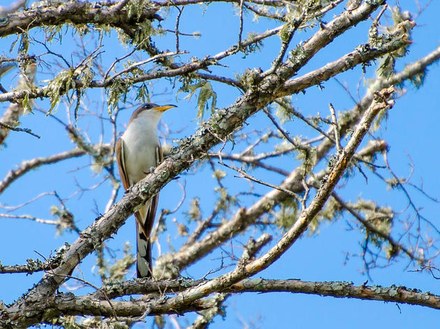 Western Yellow-billed Cuckoo Training
