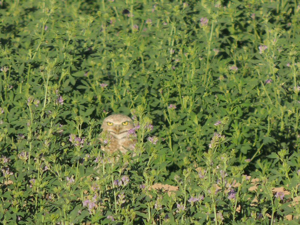 Blondie, a particularly pale Burrowing Owl, stares at the camera while hidden waist deep in a bed of dark green vegetation.