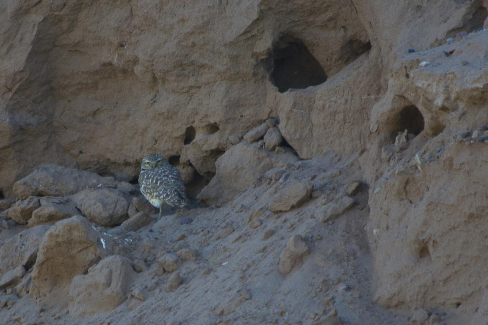 A  Burrowing Owl stands on the eroding edge of a mud cliff. The burrows are visibly unstable and deterioriting.