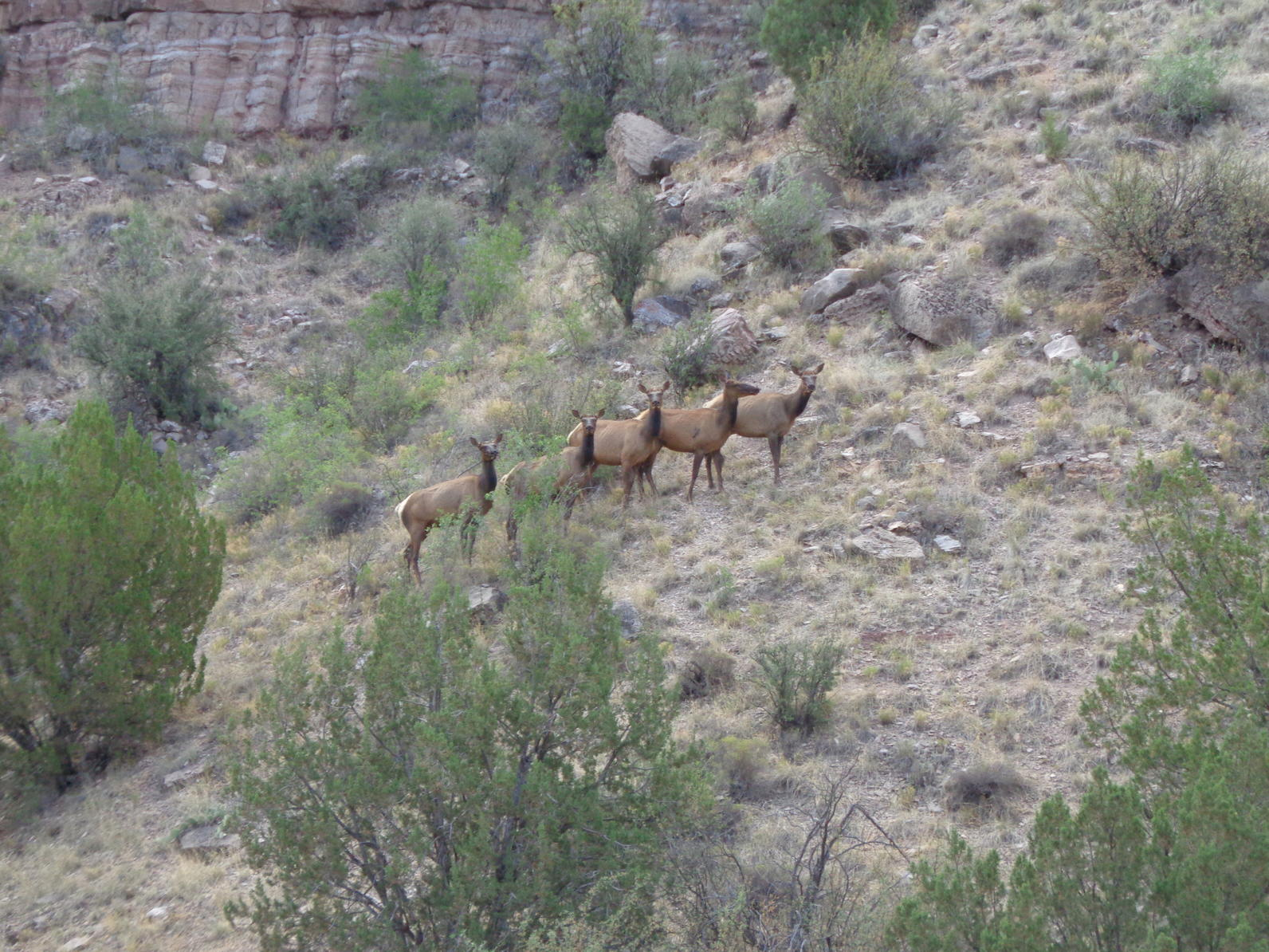 A group of cow elk along the Upper Verde Springs Yellow-billed Cuckoo survey transect.