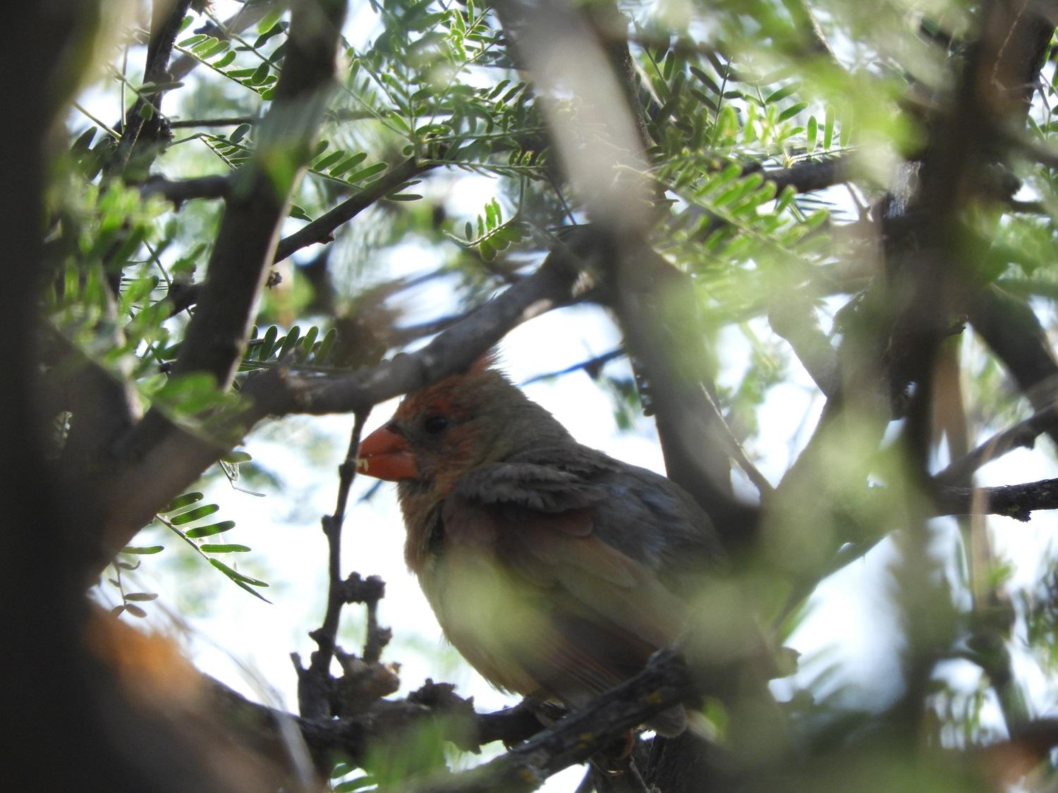 A female Northern Cardinal carefully watches Prescott Audubon surveyors during the 2018 Yellow-billed Cuckoo survey effort.
