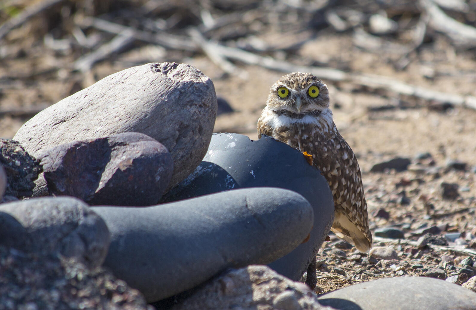 Burrowing Owl standing tall to peer over the mound of river rocks that covers its burrow.
