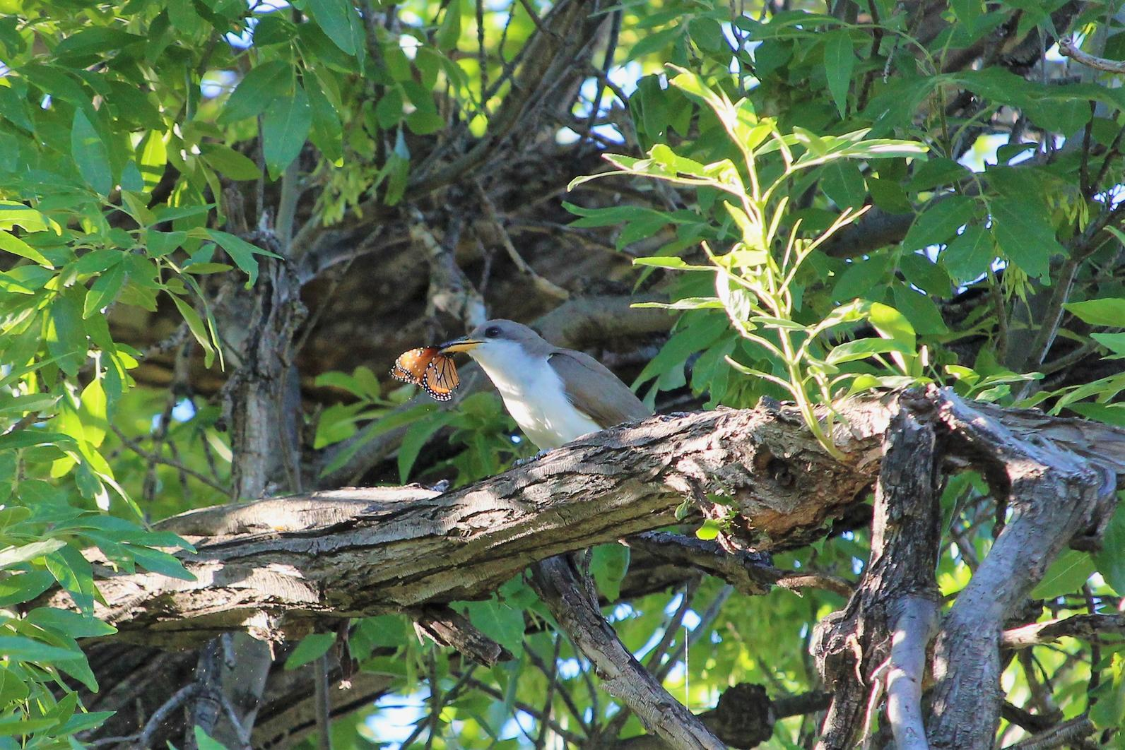 A Western Yellow-billed Cuckoo perches on a branch in a big leafy green tree with a Queen Butterfly in its beak.