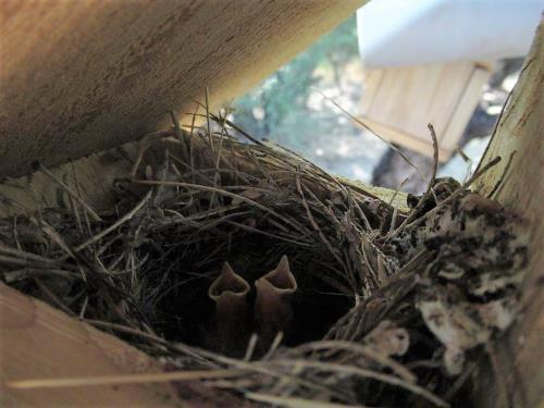Lucy Warbler babies in a nest box.