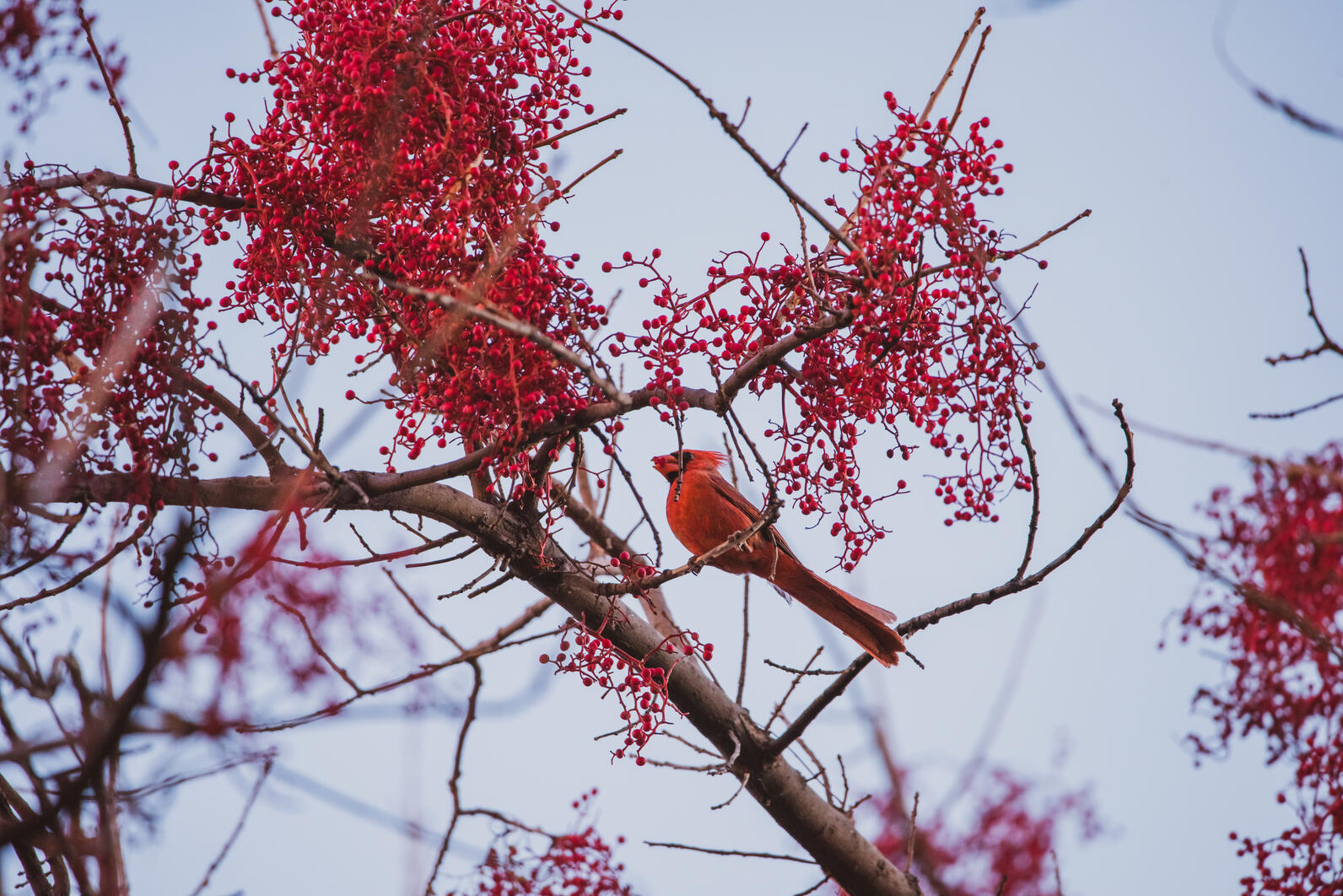 Northern Cardinal perrech on a tree branch