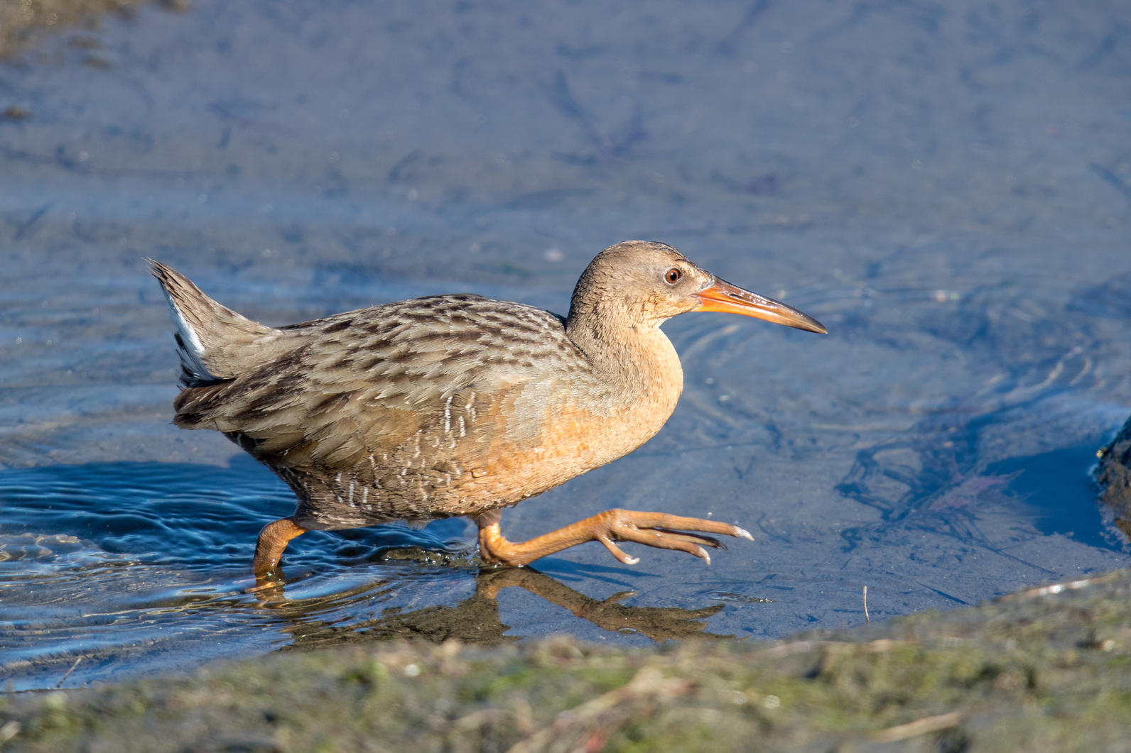 Ridgway's Rail standing in water