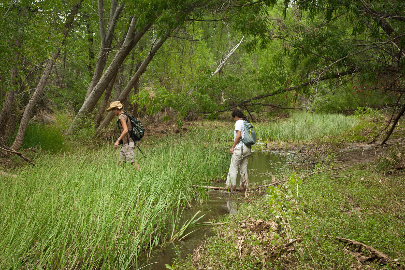 Audubon staff and interns survey for birds in cottonwoods and willows along the Agua Fria River.