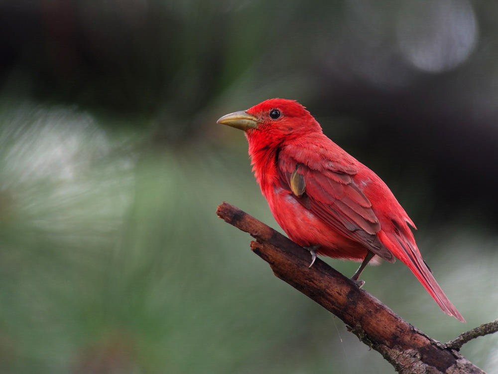 Summer Tanager on blurred green background