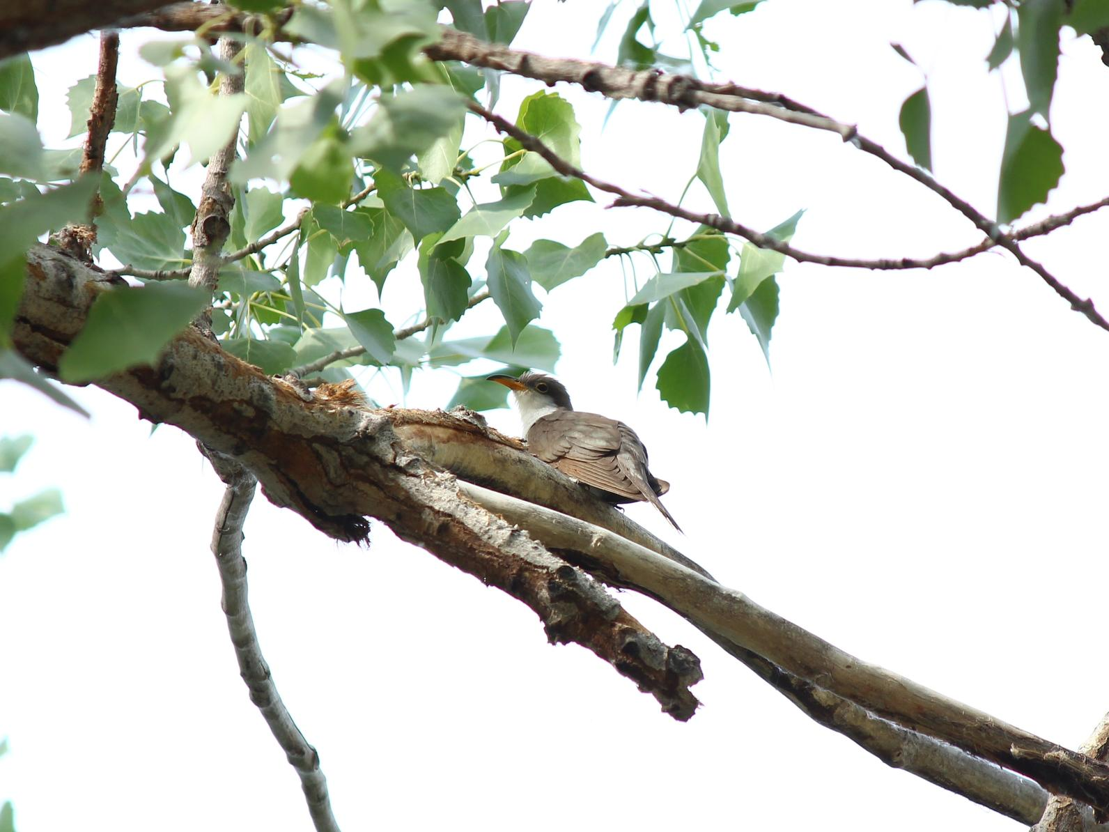 A Western Yellow-billed Cuckoo perches above the viewer on a leafy branch.