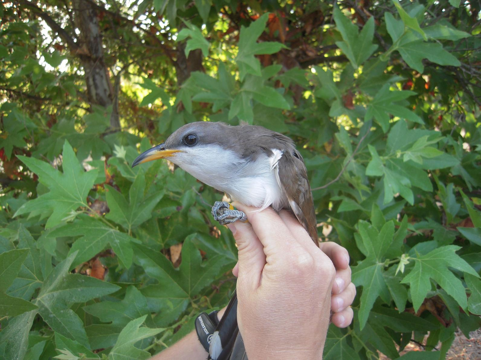 A Western Yellow-billed Cuckoo in a hand.