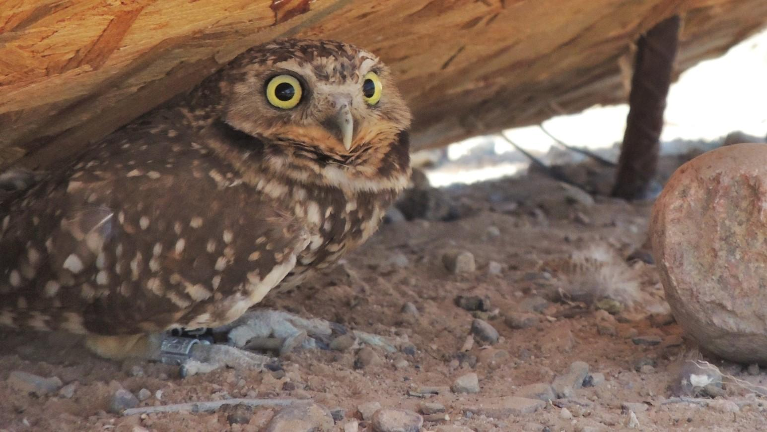 A relocated Burrowing Owl looks up longingly.