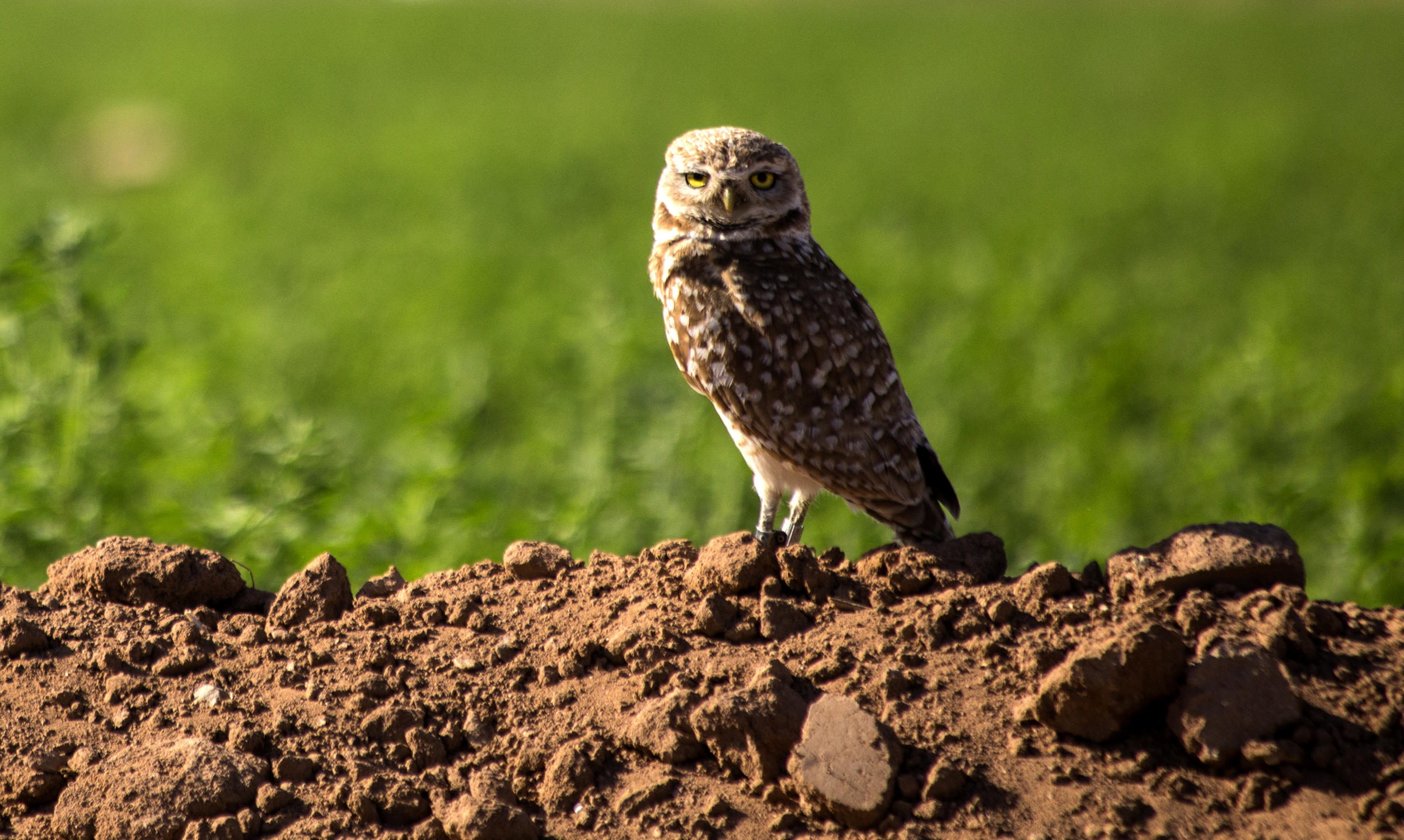 A Burrowing Owl in a field in Phoenix.