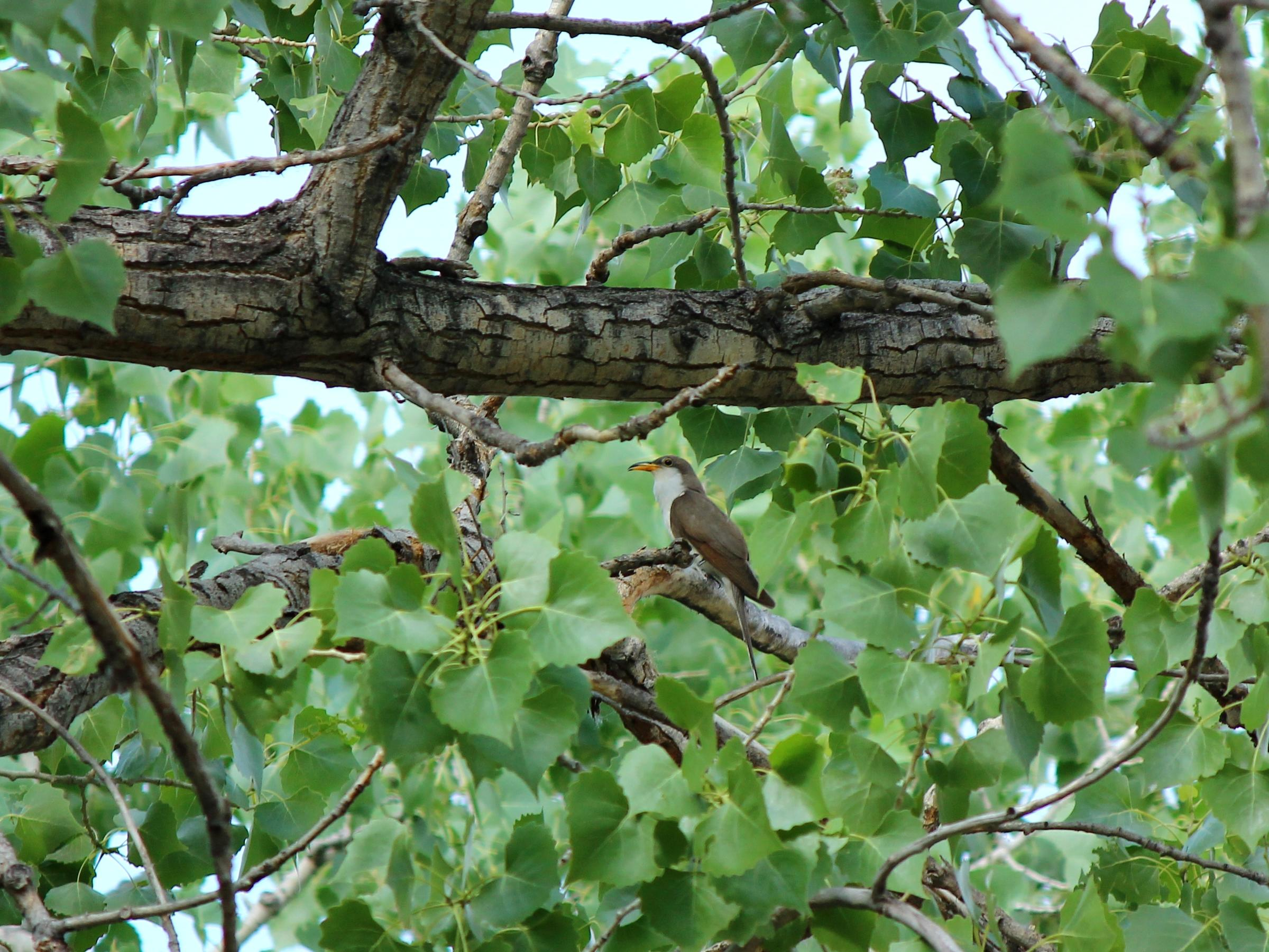 A Western Yellow-billed Cuckoo perches in the midst of branches and leaves.