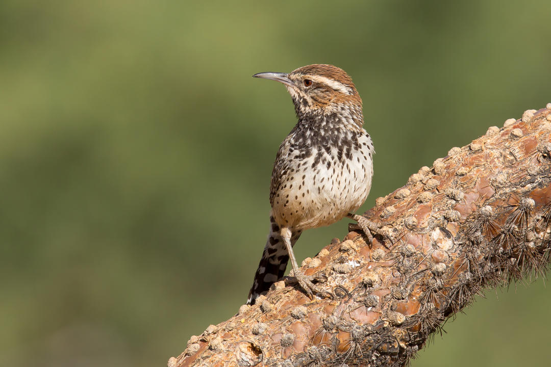 Cactus Wren perched on cholla branch