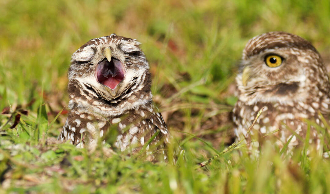 A Burrowing Owl, eyes squeezed shut, yawns as its more alert partner looks on, both peaking out from a grassy burrow.