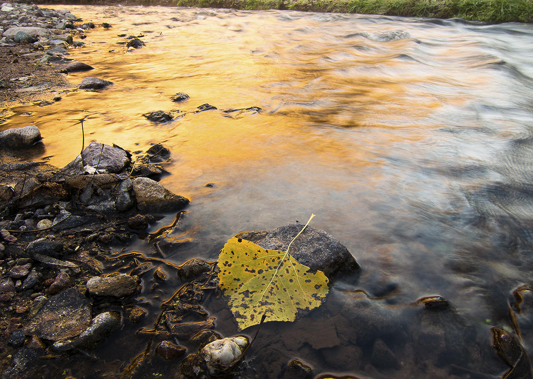 Fall-colored cottonwood leaf resting in water along a river's shorline.
